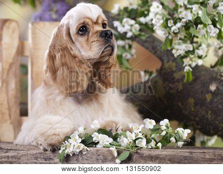 dog American Cocker Spaniel in blooming garden