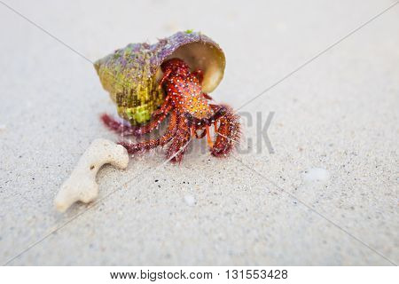 Beautiful red crab on beach on tropical island Koh Phangan in Thailand. Fauna of Chalokum beach.