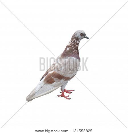 pigeon dove bird grey with brown dot pattern isolated on white background