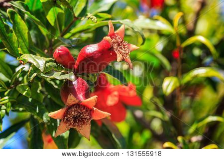 Pomegranate Ovary With Flowers On The Tree