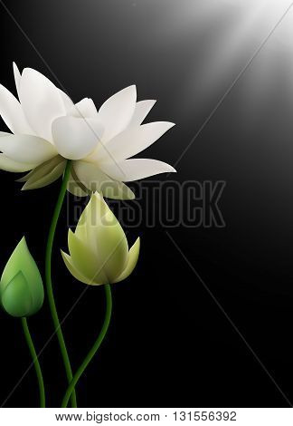 Vector illustration of White Lotus flowers with rays on black background