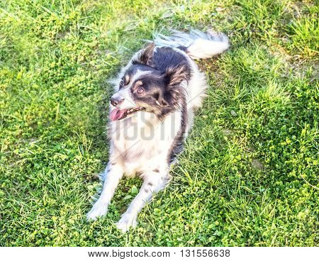 Pretty black and white dog on summer grass