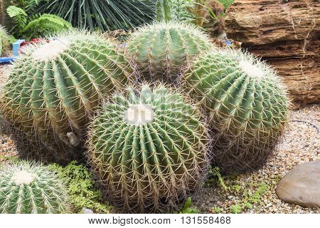 Group of cactus flower in garden . .
