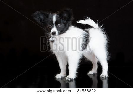 adorable papillon puppy posing on black background