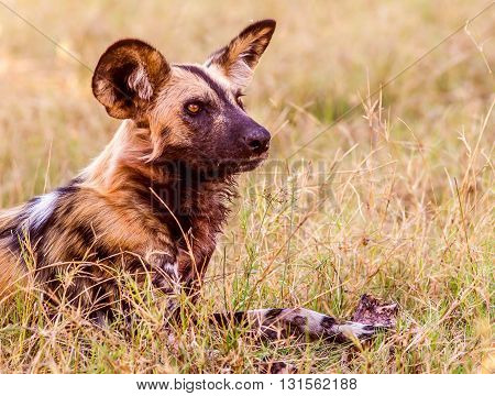 Close up of a African Wild Dog