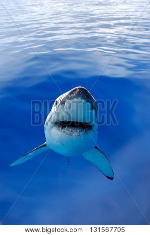Great White Shark swimming Underwater in the ocean