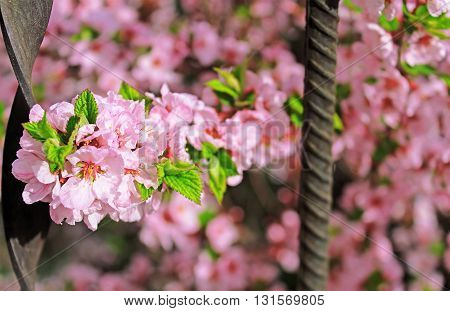 Spring Cherry blossoms in the spring garden