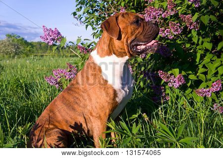the dog breed the boxer, sits near lilac bushes, a sunny day, the blue sky, lilac color flowers
