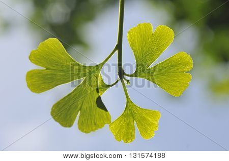 Ginkgo biloba leaves close up on tree