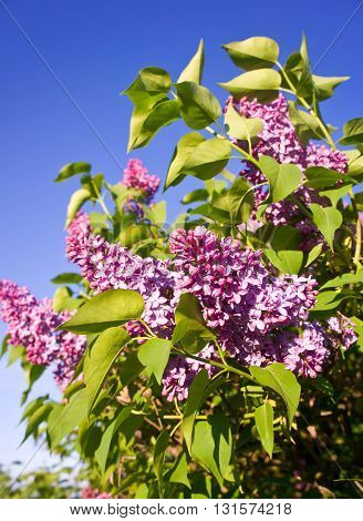 lilac bushes, sunny day, blue sky, lilac color flowers