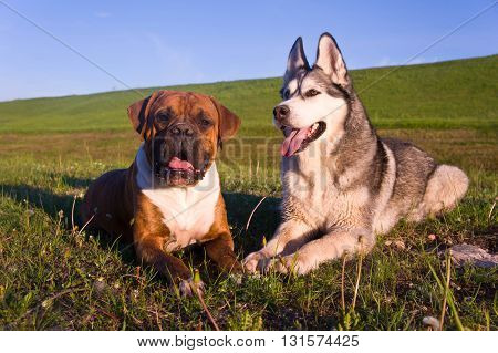 two dogs, dog lies on a grass
