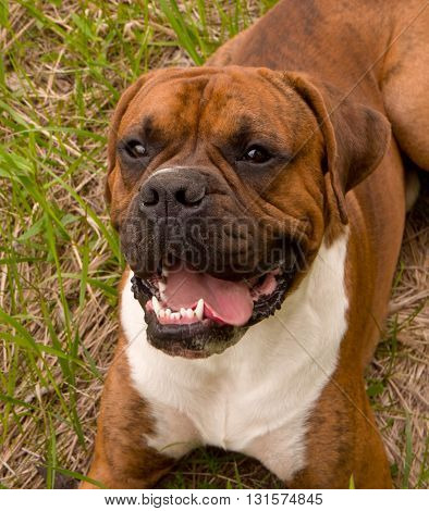 the dog breed the boxer, walks outdoors, brown, the green grass, lies on a grass, a green grass on a background,