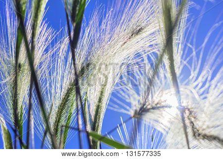 Beauty ears of grass in summer sunlight