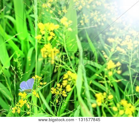 Blue moth and yellow flowers in summer
