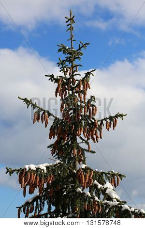 spruce cones on the top of the tree
