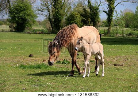 The mare and its fawn trotting on the grass