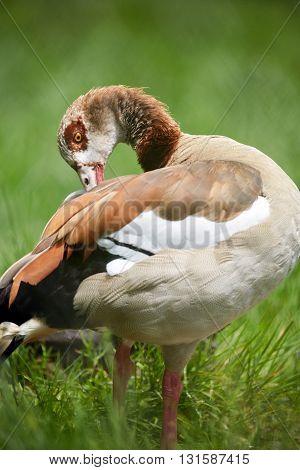 Wild Goose In Grass