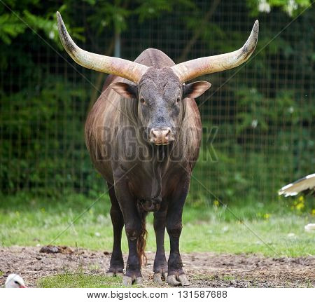 Watusi Bull On A Meadow