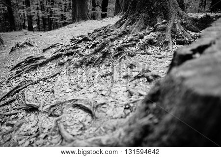 Extensive Roots On Forest. Black And White