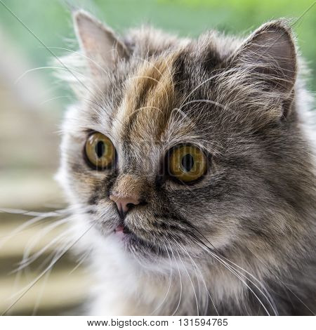 A close-up of a doll-faced Persian Chinchilla Cat.