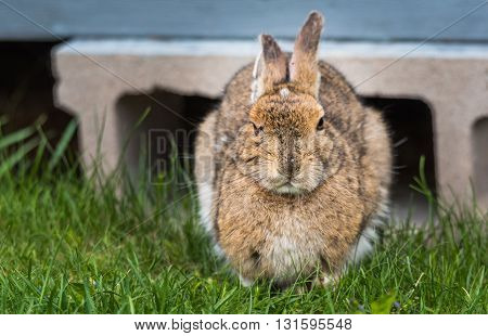 Older bunny Snowshoe hare, ears back, looking at camera, comes out from under his lodge in Springtime appearing very smart.