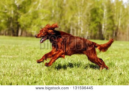 dog Irish setter running in the summer on the grass