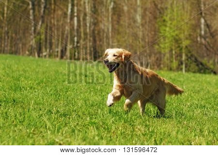 happy dog Golden Retriever with joy quickly runs across the grass
