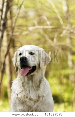 Happy dog Golden retrievers closeup portrait of a summer