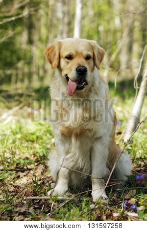 purebred male Golden Retriever sitting in a forest on one side with a protruding tongue