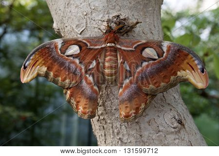 Atlas moth is the larges butterfy in nature