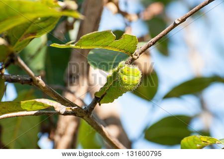 Big green silkworm on a tree branch blurry background Orissa India