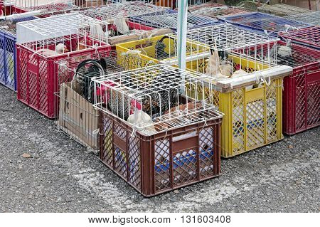 Roosters and Chickens in Crates at Poultry Market