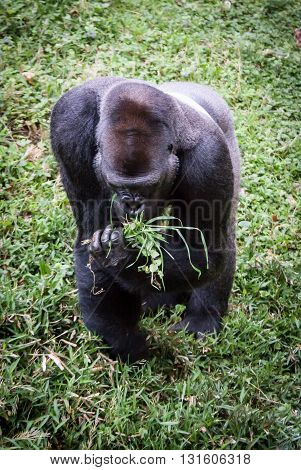 Lowland Gorilla Eating Bunch of Grass in Hand