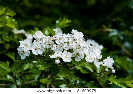 Blossoming hawthorn or maythorn Crataegus flowers and leaves close-up