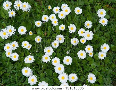 Natural background with common daisy lawn daisy