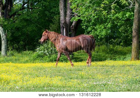 A brown horse walking in a field with wildflowers and trees.