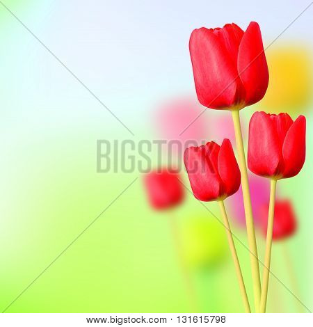 Beautiful tulips flower isolated on a background
