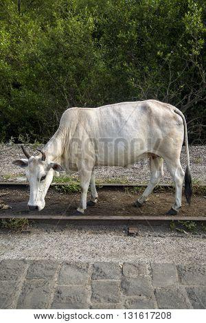Cow at the Elephanta Island Mumbai India