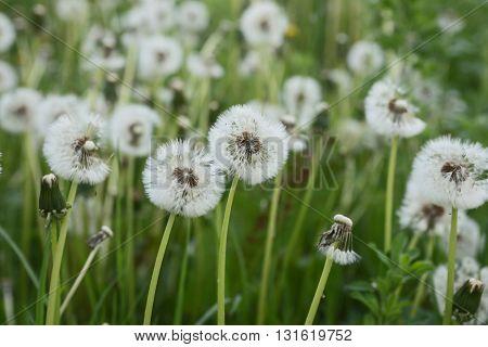Common Dandelion (Taraxacum officinale) in green field
