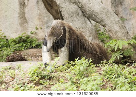 giant ant eater walking and looking something
