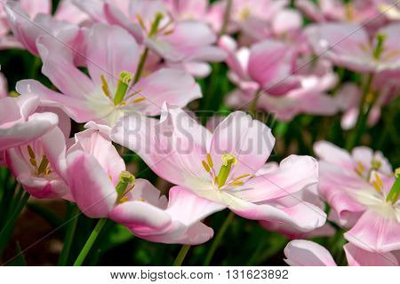 Beautiful pink tulips in the spring time.Macro shot.Close-up of closely bundled white-pink tulips.