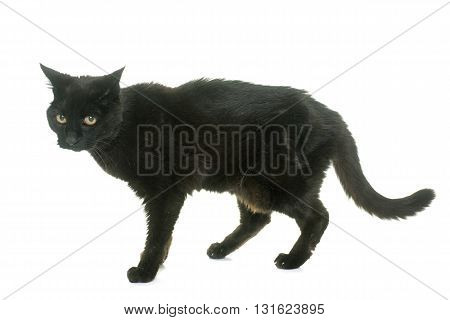 old black cat in front of white background