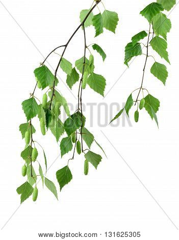 young branch of birch with buds and leaves isolated on a white background without shadow. Spring season.
