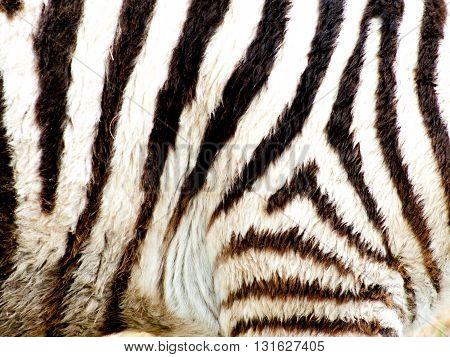Zebra Stripes Up Close