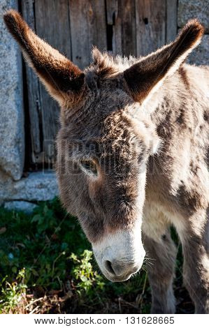 Donkey vertical portrait, rural village, Avila, Spain