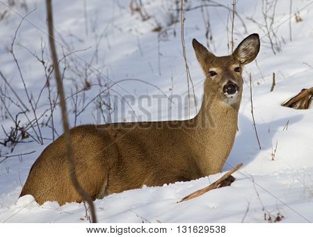 Photo of the cute wild deer laying on the snow in the forest