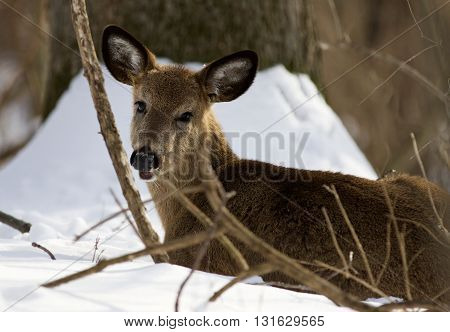 Beautiful photo of the cute wild deer on the snow in the forest