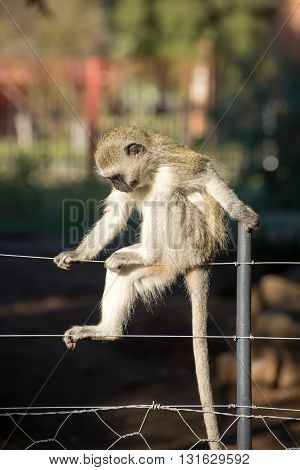 Monkey Posing On Fence