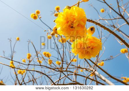 Trumpet trees Tabebuia blooming with blue sky on a background