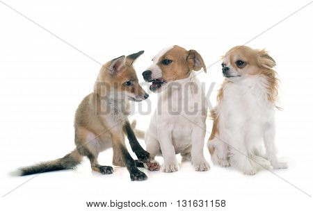 red fox cub and dogs in front of white background